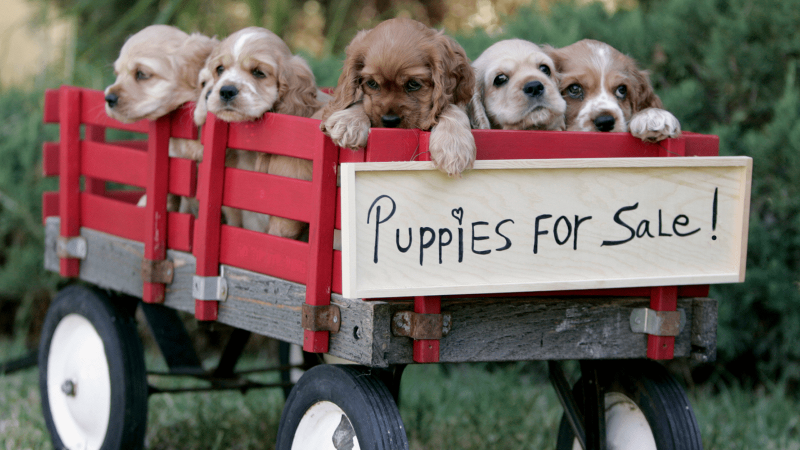 puppies in the back of a red wagon with a for sale sign