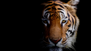 tiger-lessons-for-real-estate-agents